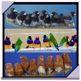 амадины гульды, выставочные японские амадины, зебровые амадины фото Ersin Erkus
